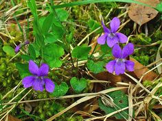 Common purple violet - Viola sororia - I love these when they flower, but they are creating a giant mass in my mawn and are crowding out the grass.  What should I do?  There are 400 to 500 species of this plant worldwide!