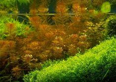 MYRIOPHYLLUM TUBERCULATUM RED, aquarium plant