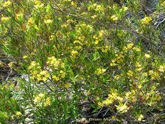 tristania neriifolia tree - Google Search