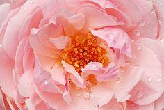 rose st cecelia