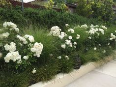 Iceberg Roses, Miscanthus Morning Light and Berkeley Sedge hide a simple retaining wall. Trailing Rosemary growing from the top drape to help hide the wall as well.