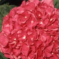1 Gal. Merritts Supreme Pink Hydrangea-25821 - The Home Depot
