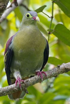 Thick-billed Green Pigeon. It ranges across the eastern regions of the Indian Subcontinent and Southeast Asia, stretching from the Eastern Himalayas to Borneo and Sumatra.