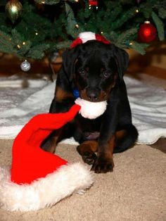 Love #Rottweilers! Especially puppies)