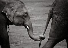 Elephants....they are some of the world's neatest creatures. very loving animals