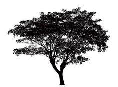 силуэт: Силуэт дерева: Samanea саман