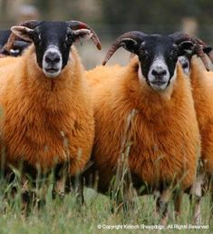 Black-faced Hoggs sheep. Black faced sheep with wool suitable for use. These sheep are often found in England and Scotland.