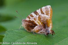 Arawacus dolylas