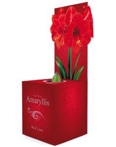 € 5,99 (incl. btw) Amaryllis Red Lion maat 24/26 in een geschenkdoos. De doos geeft een kerstgevoel, maar kan prima ook voor andere gelegenheden gebruikt worden. In de doos zit een reeds opgepotte Amaryllis die alleen nog water nodig heeft. Op de doos zie je al hoe deze Amaryllis bloeit. Red Lion heeft rode bloemen. Op de doos vind je de plantinstructies. Een mooie verpakking voor een groen kerstcadeau.