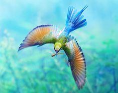 Blauwstaartbijeneter (Blue-tailed bee-eater, Merops philippinus) (not a kingfisher)