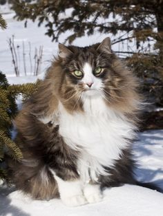 Norwegian Forest Cat in Snow Photographic Print by Lynn M. Stone at AllPosters.com