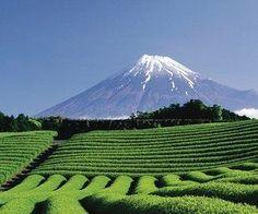 Plantación de té en Japón #sientetualma #Té
