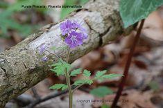Purple Phacelia (Phacelia bipinnatifida) Hydrophyllaceae Found April 26, 2015 on River Road near New Amsterdam Quarry in Indiana.