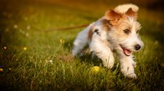 https://flic.kr/p/f5Da96   Dog   Our dog, a jack russell terrier, Rut playing around in the grass.