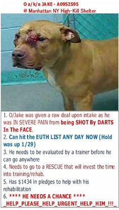 *CODE_RED NY* O aka Jake is HOPEFULLY STILL ALIVE!! KEEP SHARING!!!! 1. O/Jake was given a raw deal upon intake as he was IN SEVERE PAIN from being SHOT By DARTS In The FACE. 2. WILL DIE TODAY if not RESCUED ** RESCUES GIVE HIM A CHANCE ** 3. Has over $2000 in pledges to help with his rehabilitation PLEASE!! **--This happens EVERY day, please stand up for Animals and Children. They can't defend themselves, we have to defend them