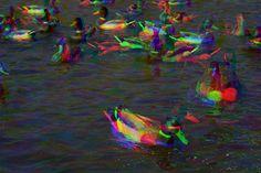 mallard.ducks by TaineAH, via Flickr