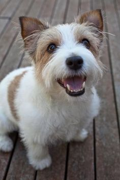 Rough Coated Jack Russell Terrier Dog