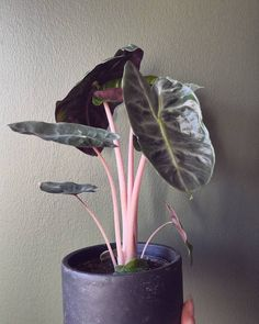 Plants Alocasia Pink Dragon Your Reference Guide To Caring For A Baby Bringing a new baby home is a Tropical House Plants, House Plants Decor, Plant Decor, Exotic House Plants, Planta Alocasia, Alocasia Plant, Cool Plants, Green Plants, Pink Leaf Plant
