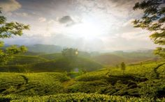 Tea Estate, Munnar, Kerala