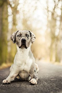 Leopard Dog on Pinterest | chihuahua mix, redbone coonhound and catah…