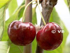 Čerešňa - 'Summit' - Ovocná škôlka - STAPE VAJDA s.r.o. Cherry, Fruit, Food, Essen, Meals, Prunus, Yemek, Eten