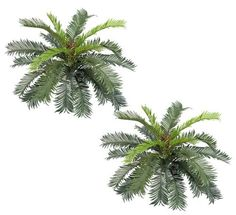 Cycas Palm Bush in Green - 22' Tall ** Read more reviews of the product by visiting the link on the image.
