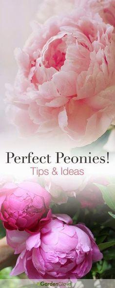 Perfect Peonies • Tips Ideas!, garden design, gardening, gardening with flowers, tips for growing great peonies
