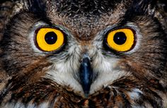 Eagle owl eyes by floridapfe, via Flickr