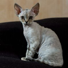 Devon rex cat - rumored to be hypoallergenic. get some yourself some pawtastic adorable cat apparel! Kittens And Puppies, Cute Cats And Kittens, Cool Cats, Cute Puppies, Kittens Playing, Devon Rex Cats, Selkirk Rex, Cornish Rex Cat, Kawaii