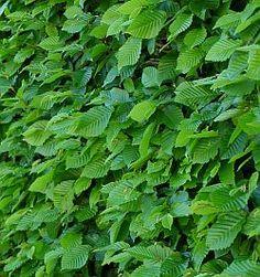 Živý plot  - Carpinus betulus