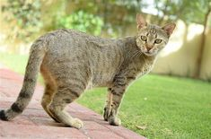 The Arabian Mau is one of the oldest of all of the natural feline breeds.