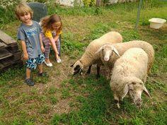 Sauvignon Blanc, Lamb, Goats, Animals, Just Go, Sheep, World, Animaux, Animal