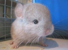 How to care for a baby Chinchilla. More chinchilla facts at URL: http://chinchilla.co/ Fb fan page: https://www.facebook.com/chinchilla.co