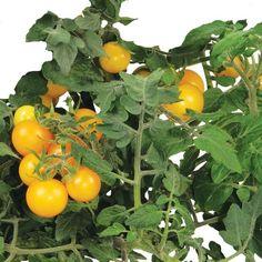AeroGrow Golden Harvest Cherry Tomato Seed Kit