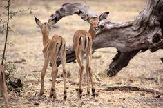 Safari NP Chobe Botswana