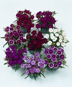 Dianthus Seeds Telstar Mix 500 Bulk Seeds