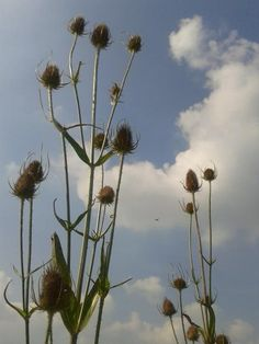 Enjoyed a wander round the field in the sunshine with Chester. Love #teasels  #blackdownhills #EastDevon #countryside pic.twitter.com/nLf852HyzF