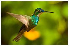 Picaflor. Copyright © 2012 Marmein