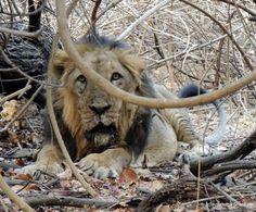 The wild encounter in Gir