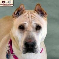 Nashua Nh Shar Pei Meet Harley A Dog For Adoption Dog Adoption Pets Man And Dog