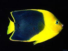 Imagenes para fondo de pantalla - Peces de colores: http://wallpapic.es/oceano-y-mar/peces-de-colores/wallpaper-11435