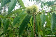 #Edelkstanie, #Castania sativa  http://www.florilegium.de/blog/pflanzen/obst-und-gemuese/maroni-die-esskastanie-oder-auch-edelkastanie-castania-sativa.html