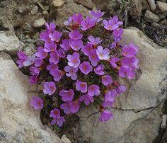 Androsace montana