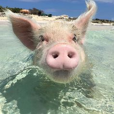 #TheSwimmingPigs