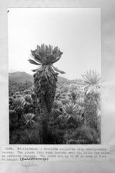 Frailejones in northern Ecuador. by Smithsonian Institution