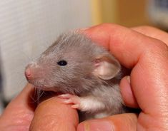 Rats are by far one of the most misunderstood pets out there, but those who own them know just how special they are. The bond an owner can have with their rats is unbreakable, with their friendly a… Cute Animals Puppies, Baby Puppies, Cute Baby Animals, Animal Babies, Save Animals, Funny Animals, Happy Facts, Kangaroo Baby, Cute Rats