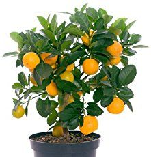 I am sure you are aware that if you plant orange seeds in the ground, you will see an orange tree begin to grow within a couple of months. But what if you want your orange tree to begin growing faster than that? This video shows you how to start growing your orange tree within …