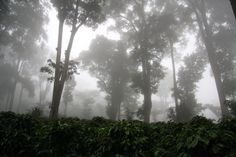 Mists in the coffee forests of Nicaragua  n_caturra3