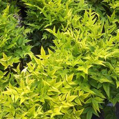 Buy heavenly bamboo Nandina domestica Magical Lemon and Lime ('Lemlim') (PBR) - Beautiful year-round colour: 2 litre pot: Delivery by Crocus Low Maintenance Landscaping, Low Maintenance Plants, Landscaping Plants, Front Yard Landscaping, Hillside Garden, Small Shrubs, Coastal Gardens, Foliage Plants, Container Flowers