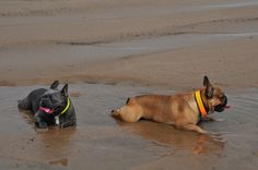 French Bulldogs at the Beach